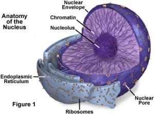 nucleusfigure1